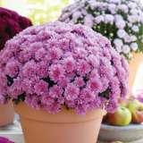 Garden Mum Youpi Violet 2018 Pplgmuyvi