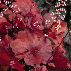 Heuchera Fire Alarm