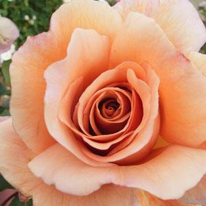 Rose Julias Rose