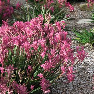 Kangaroo Paw Bush Pearl