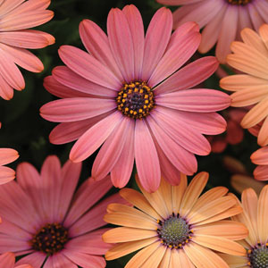 Osteospermum Serenity Rose Magic