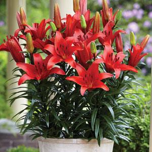 Pot Lilium Blushing Joy