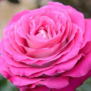 Rose Queen Adelaide