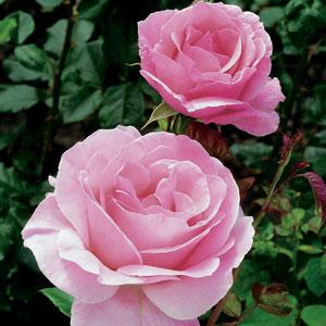rose queen elizabeth garden express. Black Bedroom Furniture Sets. Home Design Ideas