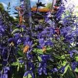 Salvia Black & Bloom