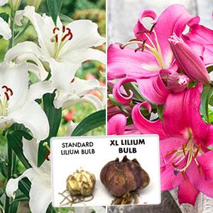 Xl Lilium Oriental Pink/white Combo