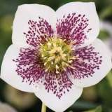 Hellebore Single White Spotted