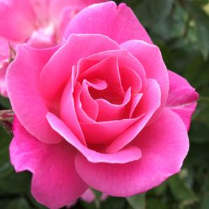Rose Jacaranda