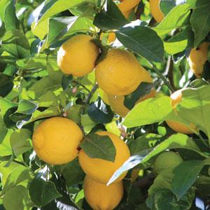 Lots A Lemons