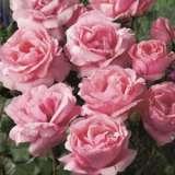 Rose Queen Elizabeth