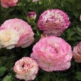 Ranunculus Mache Bi-colour