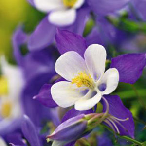 Aquilegia Nightingale