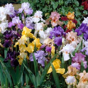 Bearded Iris Tall Mixed Pkbirtm4