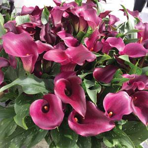 Calla Lily Purple Heart Pkcalphe