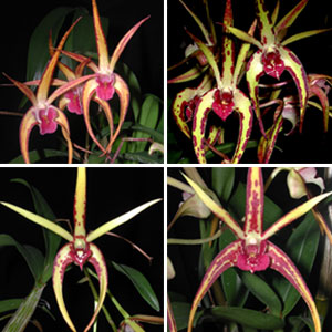 Dendrobium Orchid Spidery Collection 4 Plants