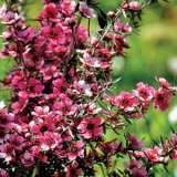 Leptospermum Kiwi