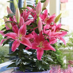 Pot Lilium Loving Romance 18 Pklillro