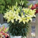 Asiatic Pot Lilium Mountain Joy