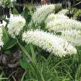 Sydney Rock Orchid White Lpodorsrw