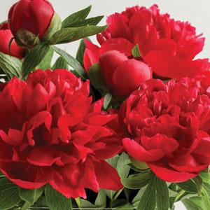 Peony Rose Red Robin