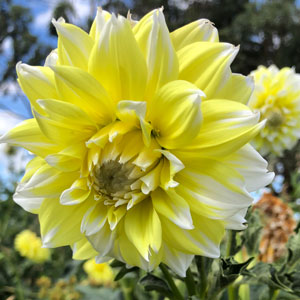 Dahlia Lemon Snow