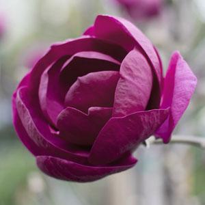 Magnolia Cleopatra (pbr)