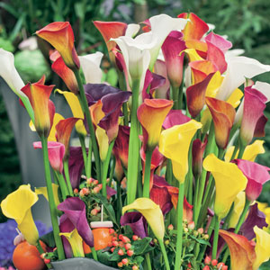 Calla Lily Hybrid Mixed Pkcalhmx