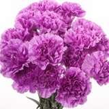 Carnation Farida