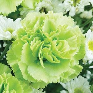 Carnation Lady Spring