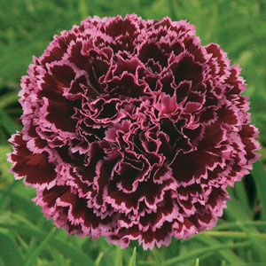 Carnation Nobbio Burgundy