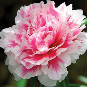Carnation Nobbio Pink Delight