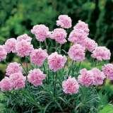 Carnation Pink Montezuma