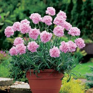 Carnation Pink Montezuma Pplcarpmo