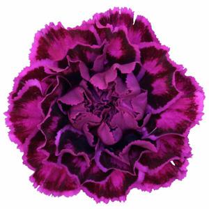 Carnation Tricolour Vivid Violet