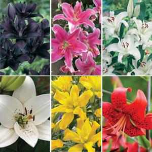 Garden Lilum Offer