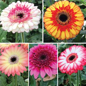 Mini Gerbera Collection 5 Plants