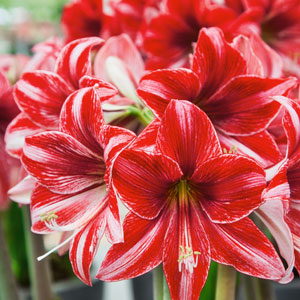 Hippeastrum Pyjama Party