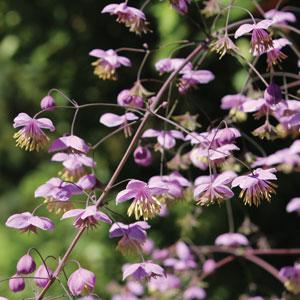 Thalictrum Dipterocarpum