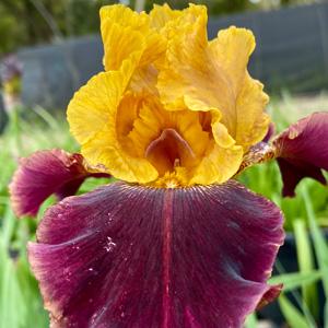 Bearded Iris Gambler