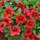 Calibrachoa Calipetite Red