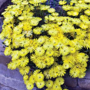 pig face lemon yellow 18 lpopfalye