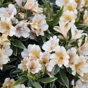 princess lily fabiana pplplifab