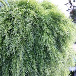 Acacia Lime Magik Garden Express