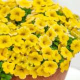 Calibrachoa Calipetite Yellow