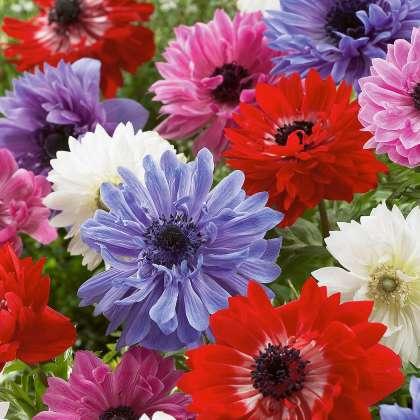 anemone double mixed pkanedmx
