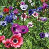 anemone poppy mixed pkanepmx 2019