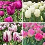 bhg tulip blush coll colbhgtbs 1