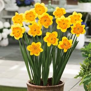 Daffodil Congress