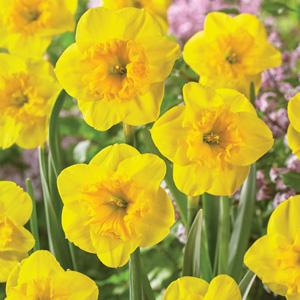 daffodil curly lace pkdafcla