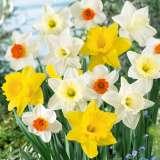 daffodil premium mixed pkdafpmx